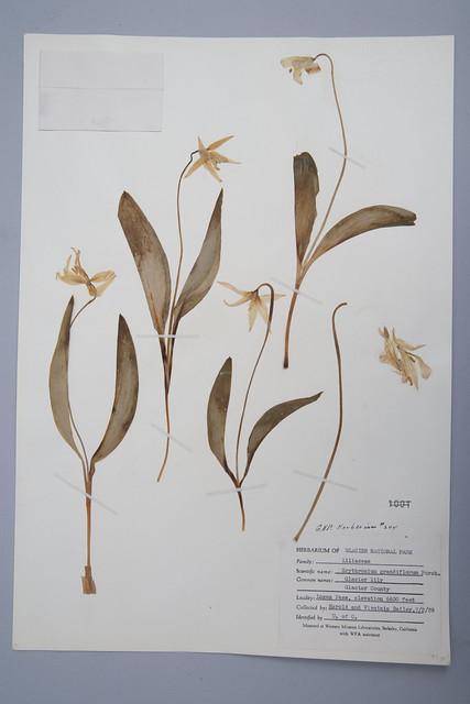 Erythronium Grandiflorum Herbarium Specimen