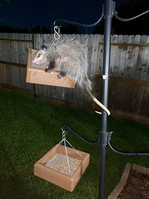 There's a weird bird in one of our feeders...