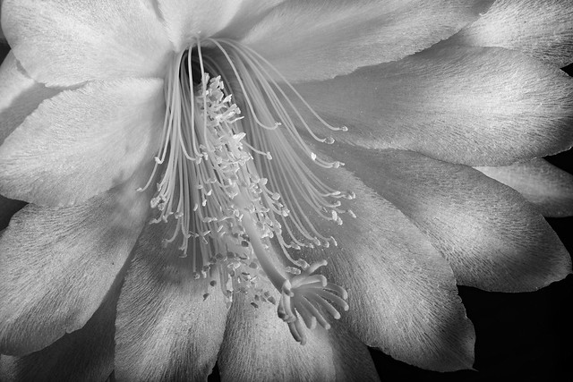 Epiphyllum Bloom In Black And White