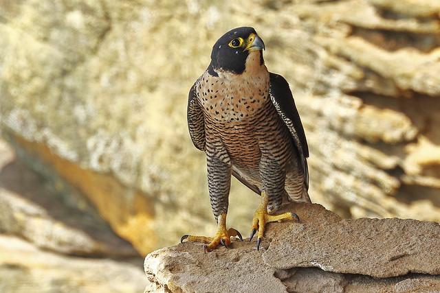 198 0916 Peregrine Falcon