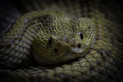 Northwest Neotropical Rattlesnake Closeup