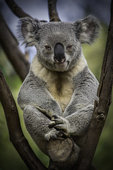 Male Koala Perched