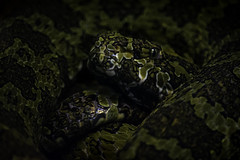Mang Mountain Pit Viper