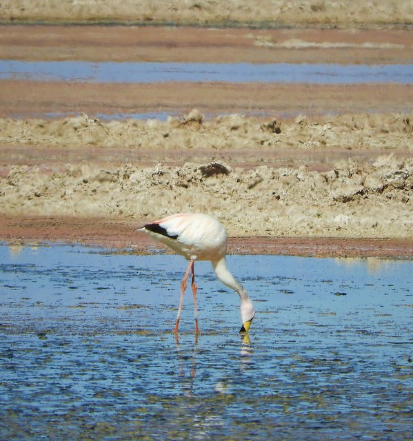 Life bird:  Andean Flamingo