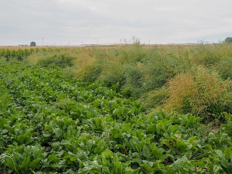 Sugarbeet where weeds have been controlled (left), compared to where kochia (Bassia scoparia) has been allowed to grow (right)