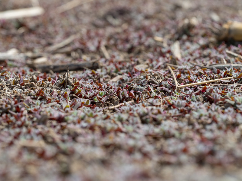 a carpet of kochia seedlings