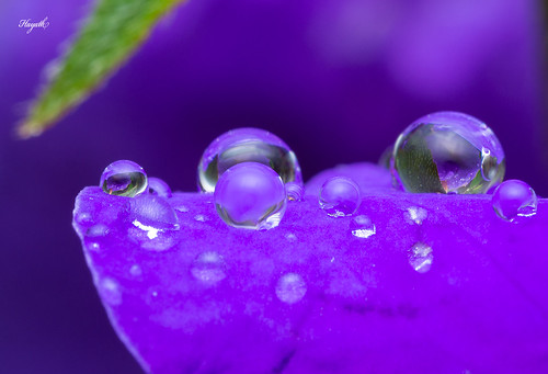 Raindrops nestled on petals | by walksthewildside