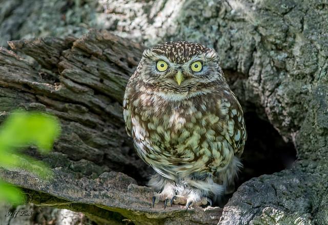 DSC3561  Little Owl...