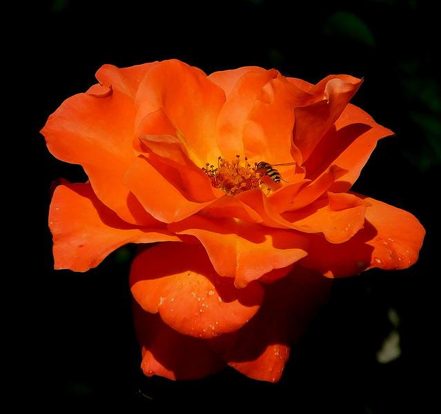 Jesienna róża.