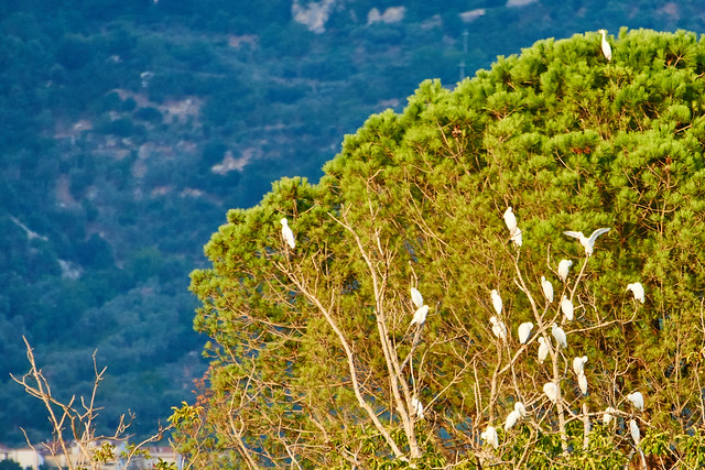 Cattle egrets relaxing
