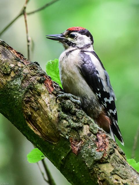 Woodpecker Woodpecker F00821 Watchtree Nature Reserve D210bob DSC_3824