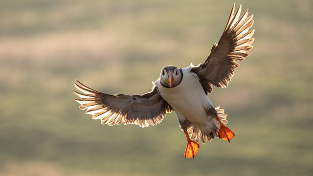 Backlit Puffin