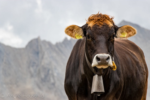 Lovely Cow in the Alps | by Andre Hauschild