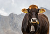 Lovely Cow in the Alps