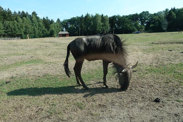 Germany - Safaripark Hodenhagen Carsafari