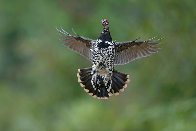 Spruce Grouse Male Flight September 2019_89A8998
