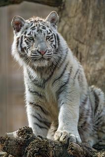 White tigress posing quite up