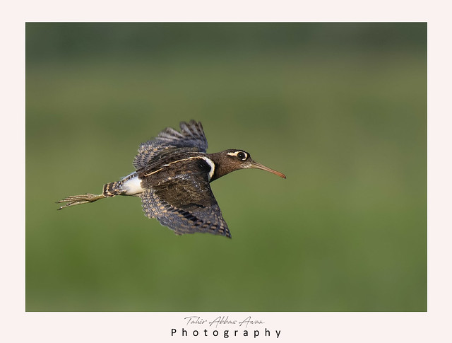 Painted-snipe