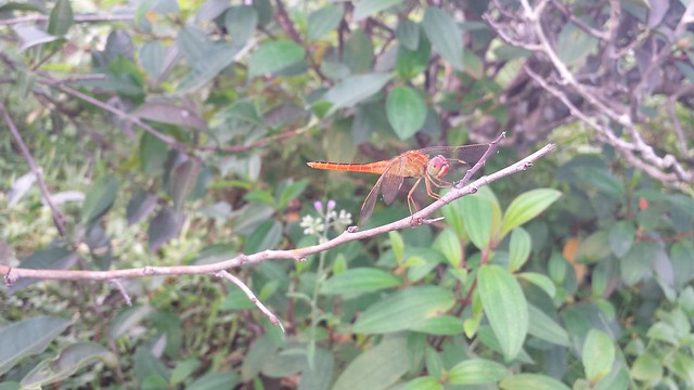 Dragonfly | ফড়িং |