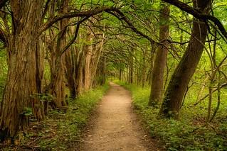 Forest Feeling, Osage Tree Tunnel in Bellbrook Ohio