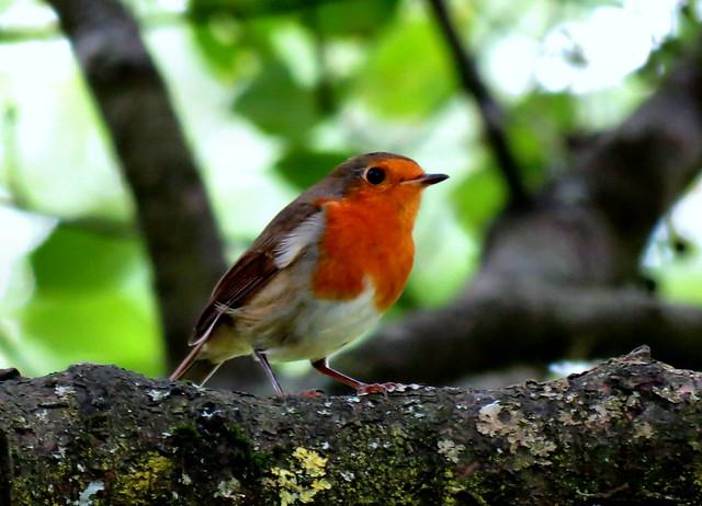 Rotkehlchen Robin
