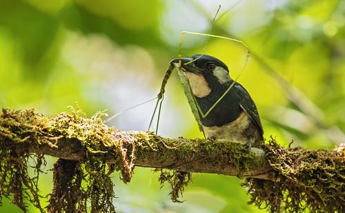 Notharchus pectoralis - Black-breasted Puffbird - Buco Pechinegro - Bobo Pechinegro 07
