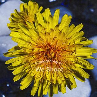 Textured Dandelion