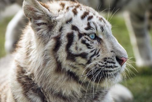 Cute profile of a young white tigress