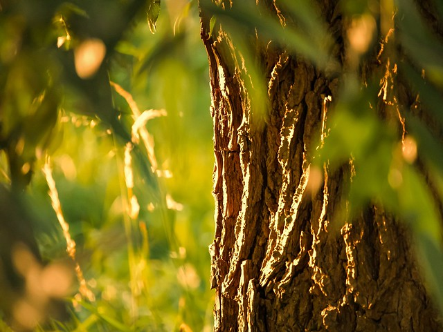 Bark of the willow tree