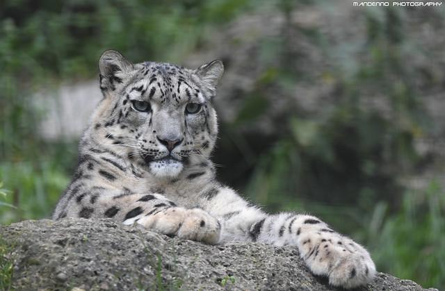 Snowleopard - Zoo Salzburg