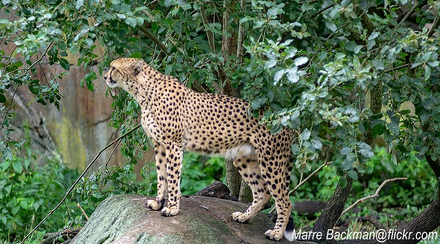 The Cheetahs see the Savannah and all the big prey they would catch. At Borås Zoo 2019