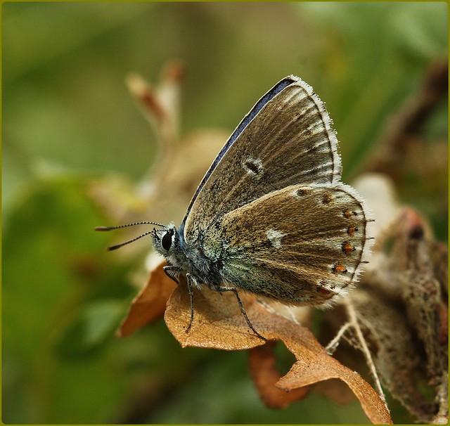 Male Adonis Blue Aberration