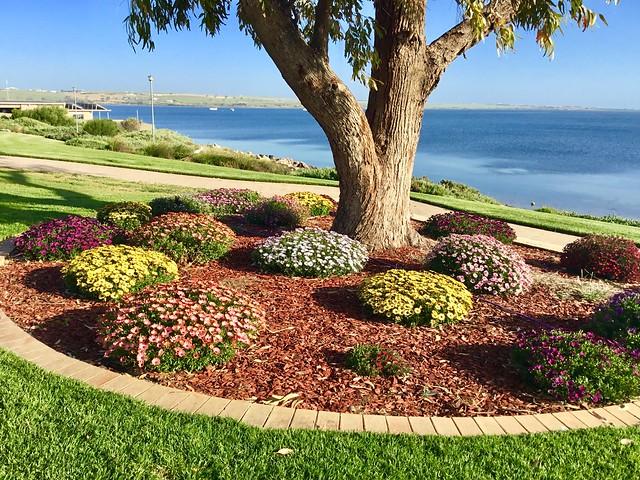 Streaky Bay on Eyre Peninsula. Colourful gazanias flowering beneath a Gum tree on the esplanade.