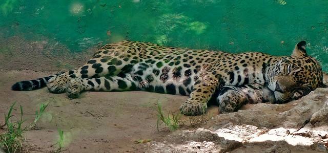 MEXICO,  Tabasco, Villahermosa- Parque-Museo de la Vento,  Fauna und Flora,  Jaguar - Mittagsschlaf, , 19268/11943
