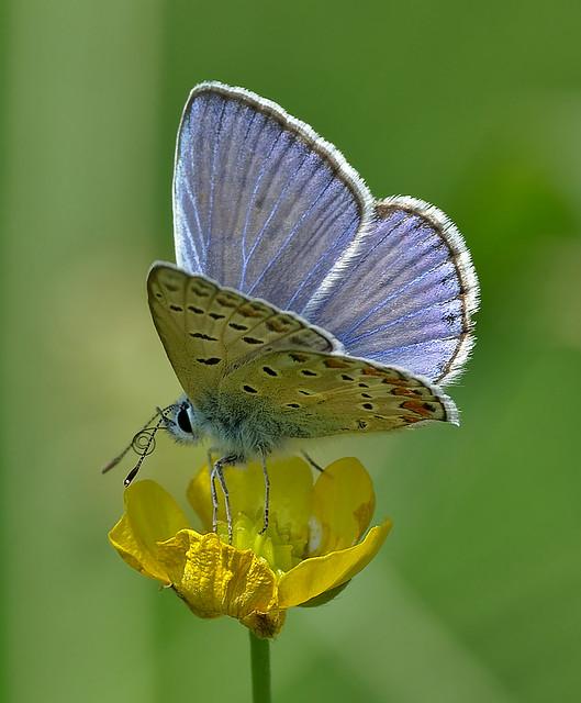 Polyommatus Icarus On Buttercup