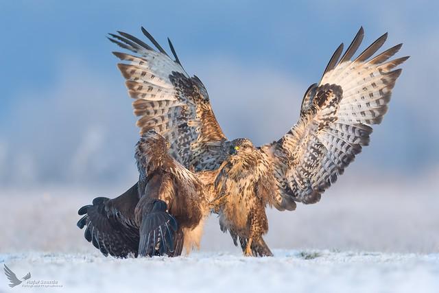 Zimowe trzepanie pierza - Myszołowy, Common Buzzard (Buteo buteo) ... 2019r