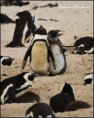African Penguin with young (Spheniscus demersus)