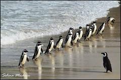 African Penguin's returning from fishing (Spheniscus demersus)