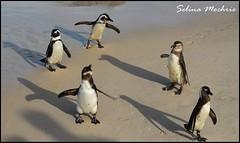 African Penguin group (Spheniscus demersus)