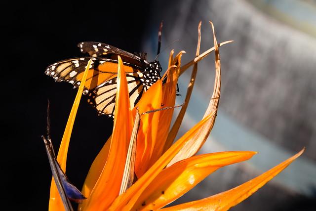 Tenerife Mariposa