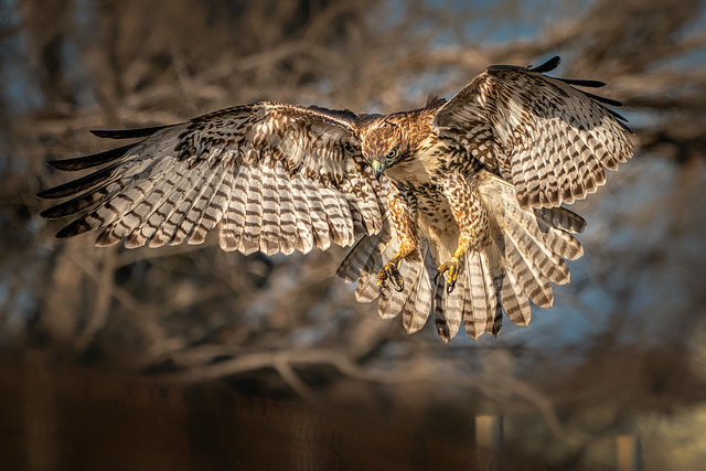 Ready for landing (red-tailed hawk)