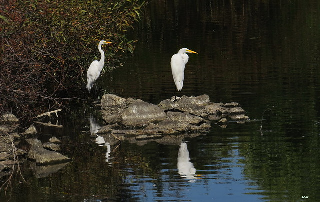 Great Egrets 3517