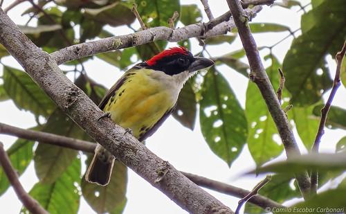 Five-colored Barbet - Capito quinticolor - Torito Multicolor