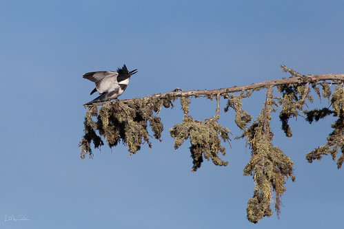 Belted Kingfisher ready to spar.