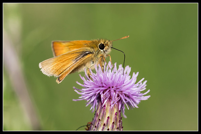 IMG_0059 Large Skipper Butterfly