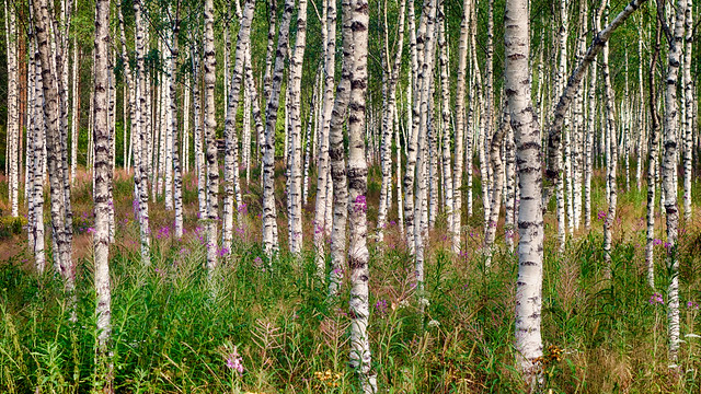 Curly birch forest