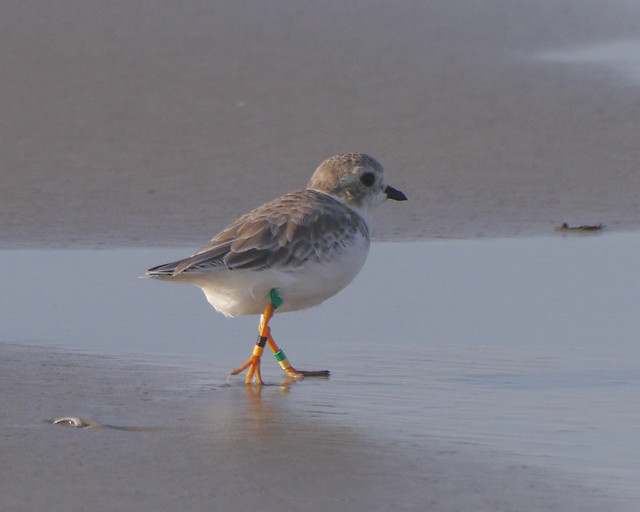 Piping Plover - 3 - 1