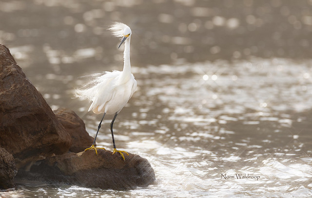 Snowy Egret In Wind