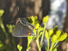 Gray Hairstreak Butterfly 1