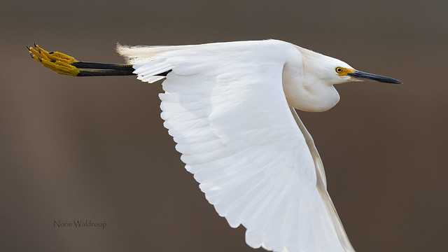 Snowy Egret Passing By